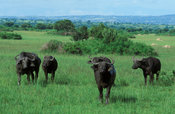 Buffalo herd (Syncerus caffer) in front of the Ruwenzori mountains, Queen Elizabeth NP, Uganda