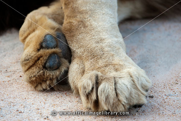 Lion paws (Panthero leo), MalaMala Game Reserve, Greater Kruger National Park, South Africa