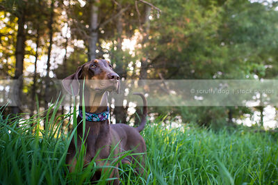 alert brown and tan dog standing in grasses with pines