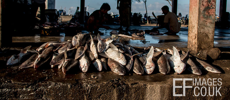 Dead sharks for sale at Tanjung Luar Fish Market, Lombok