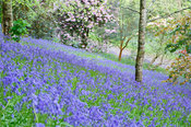 Sloping banks clothed with bluebells. Glendurgan, Mawnan Smith, Falmouth, Cornwall, UK