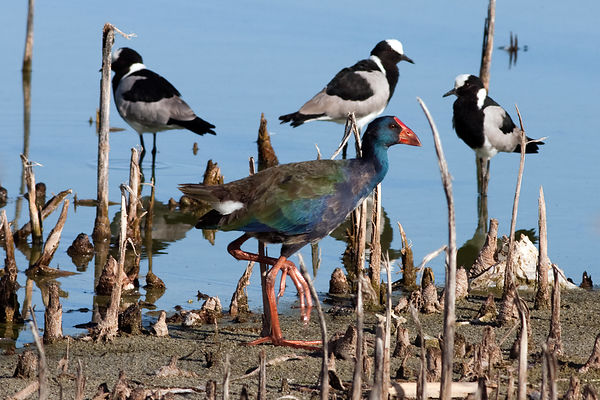 Purple swamp hen (Porphyrio porphyrio), Strandfontein, South Africa