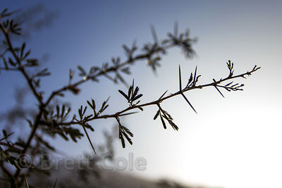 Silhouette of acacia tree foliage and thorns in the Thar Desert, Pushkar, Rajasthan, India