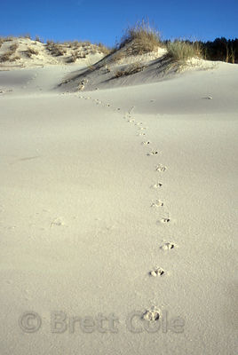 Deer tracks on sand dunes near Takenitch Creek, Oregon Coast.