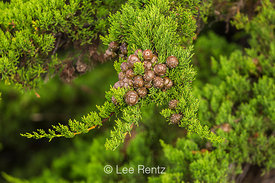 Cones and Needles of Monterey Cypress in California