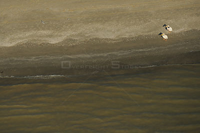 Eastern white pelicans (Pelecanus onocrotalus), aerial view of two standing on shoreline of Danube Delta, Danube delta rewild...