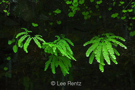 Aleutian Maidenhair Fern at Punchbowl Falls along Eagle Creek