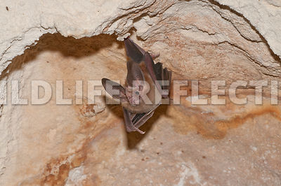 waterhouse_bat_hanging_37