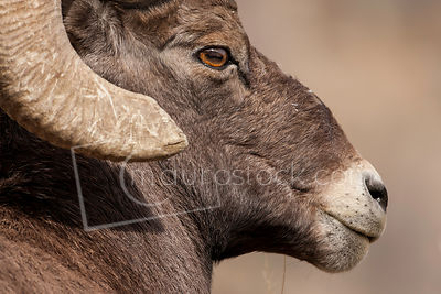 Big_Horn_Sheep_Q8J2867