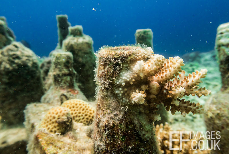 """Self-seeded"" hard coral growing on a bottle reef forming part of TRACC's reef rehabilitation project on Pom Pom Island, East..."