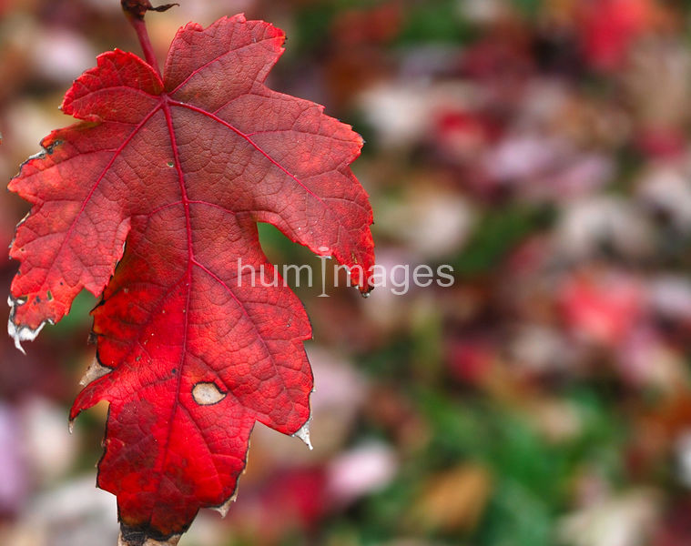 Close up of red leaf still on tree in autumn