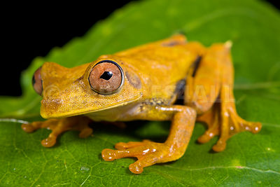 Map tree frog  (Hypsiboas geographicus)