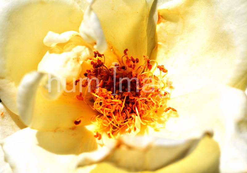 Flower Stock Photos: Yellow Flower Pistil Close Up