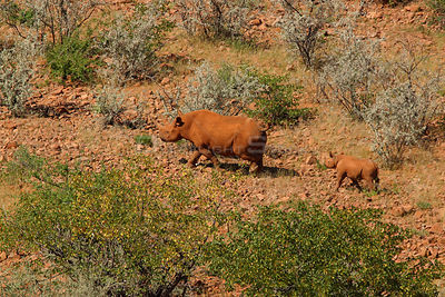 Desert black rhinoceros (Diceros bicornis) walking with young following, Damaraland, Namibia, critically endangered species