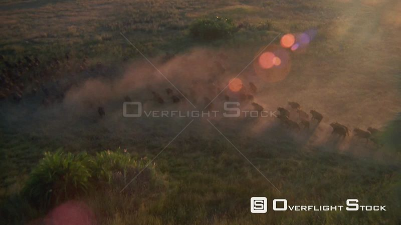 Aerial long shot large herd of buffalo running across grassy plain at sunset sunrise kicking up dust Zimbabwe