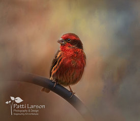 Colorful House Finch