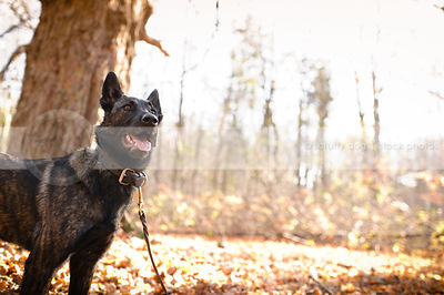 brindle dutch shepherd dog standing in autumn setting