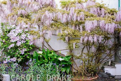 Wisteria x formosa with Clematis 'Paradise Queen' on a wall in the courtyard garden. 24 Bude Street, Appledore, Devon, UK