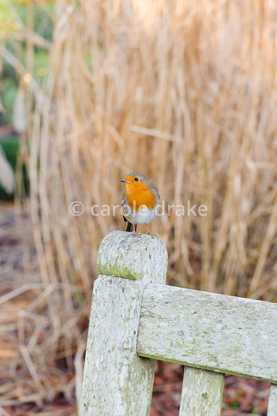 Robin on a bench in the winter garden. Sir Harold Hillier Gardens, Ampfield, Romsey, Hants, UK