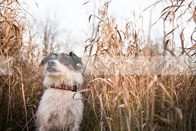 portrait of old jack russell terrier dog in field of dried grasses