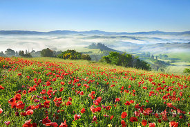 Tuscany landscape in fog with poppy field in front of Podere Belvedere - Europe, Italy, Tuscany, Siena, Val d'Orcia, San Quir...