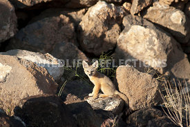 kit_fox_pup_in_rubble_field