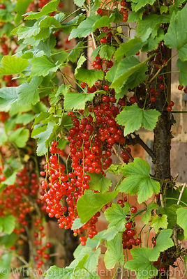 Redcurrants growing on a wall. © Jo Whitworth