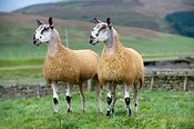 Blue Faced Leicester gimmer lambs.