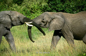 Two elephants playing, Kenya, Africa