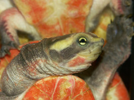 Pink-belly Short-necked or red-bellied side-necked Turtle - Emydura subglobosa