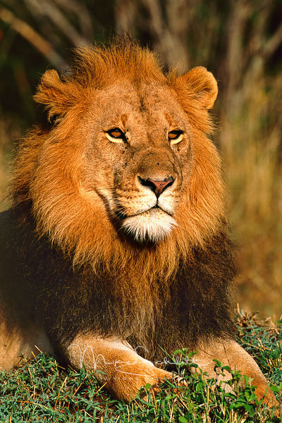 Male_lion_CROPPED_