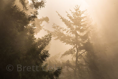 Morning fog and sunrays in redwood forest, Del Norte Coast Redwoods State Park, California