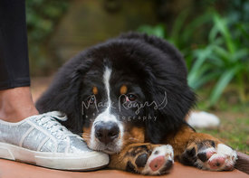 Bernese Mountain Dog Puppy Lying on Ground with Chin on Woman's Shoe