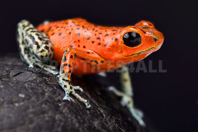 "Strawberry dart frog (Oophaga pumilio) ""Pico de Chriqui"""