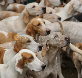 Quorn hounds at the meet at Centaur Stud 28/1
