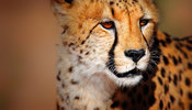 Cheetah close-up portrait from the front
