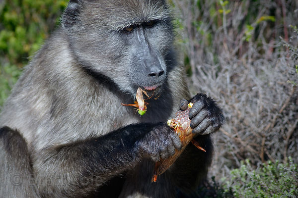 A juvenile chacma baboon from the Kanonkop troop eating old Sugarbush (Protea repens) flowerhead, , South Africa