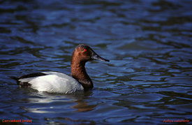 January - Canvasback (male)