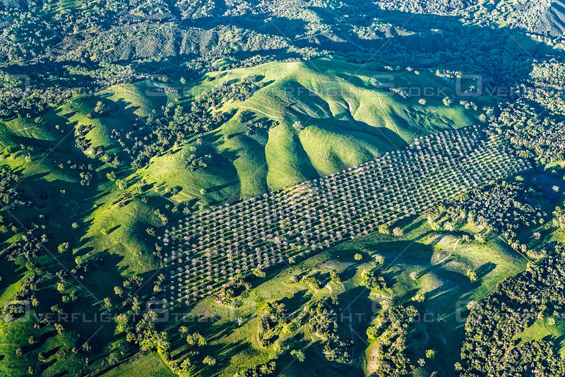 A Grove of Olive Trees Make a Pattern in the Hills of Coastal California
