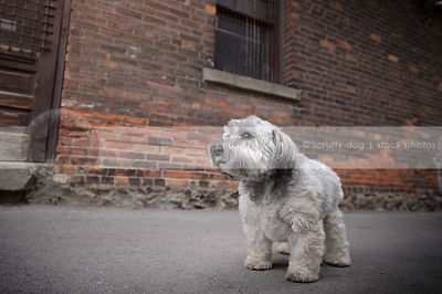 little grey mixed breed dog posing standing near urban brick wall