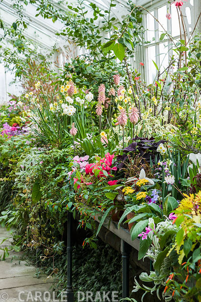 A luscious display of tender plants including cyclamen, streptocarpus, begonias, solenostemons and many others in the conserv...