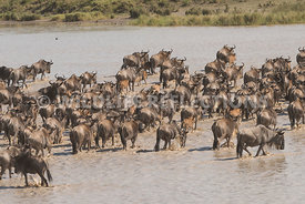 wildebeest_lake_crossing_sequence_02242015-71