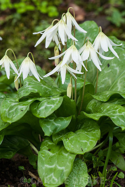 Erythronium californicum 'White Beauty'. Greencombe, Porlock, Somerset, UK.
