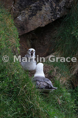 Northern Fulmar (Fulmarus glacialis) vocalising at its mate, as they tend to do in a rather less than friendly manner, Burrav...