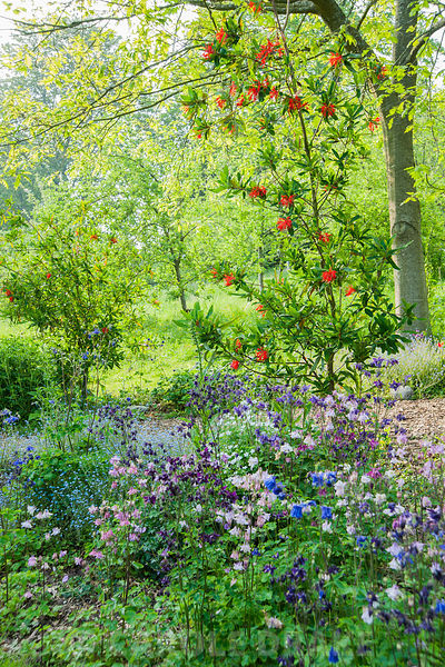 Embothrium coccineum, the Chilean firebush, surrounded by self seeded aquilegias and forget-me-nots, below an avenue of red o...
