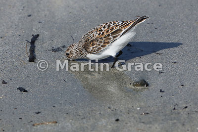 Sanderling (Calidris alba) with its bill up to the hilt as it feeds in wet sand, Bigton Wick, Mainland South, Shetland