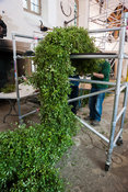 The pittopsorum garland is temporarily supported on scaffolding as it grows in length, as more pittosporum is attached to the...