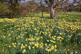 Varieties of historical Narcissus naturalised in grass at Great Dixter. © Jo Whitworth
