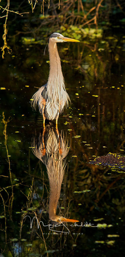 Gray_heron_reflections_crop_0112