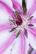 Distinctive striped flower and prominent stamens of Clematis 'Nelly Moser'
